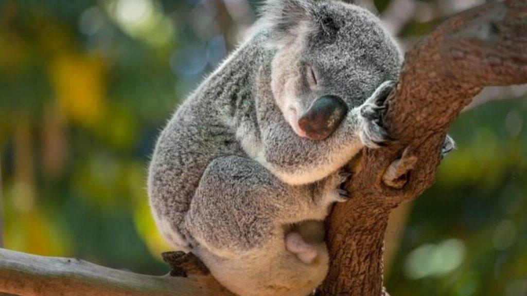 Koala_Animali molto lenti