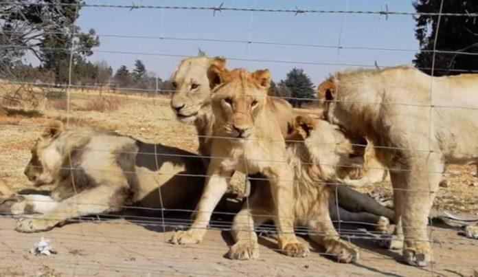 Leoni in cattività