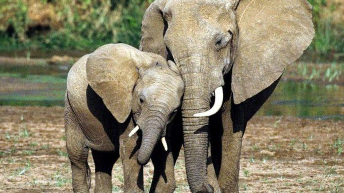 congo sentenza bracconiere su elefanti
