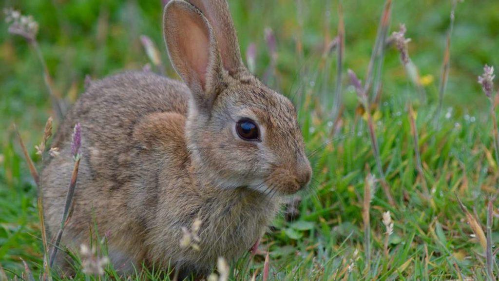 Caccia al coniglio in Sicilia
