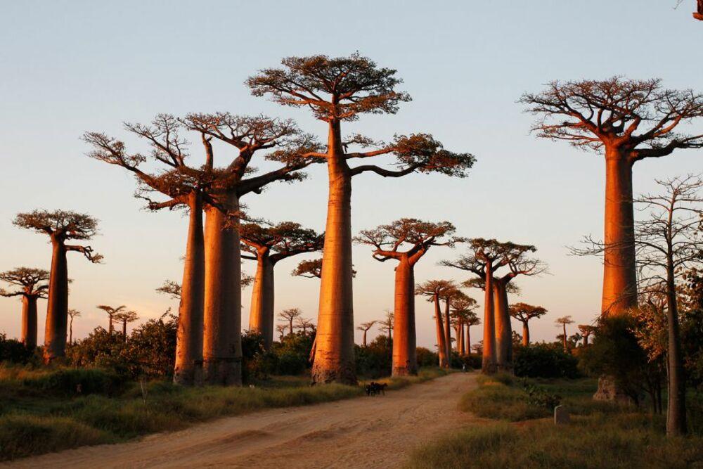 Baobab Africa.