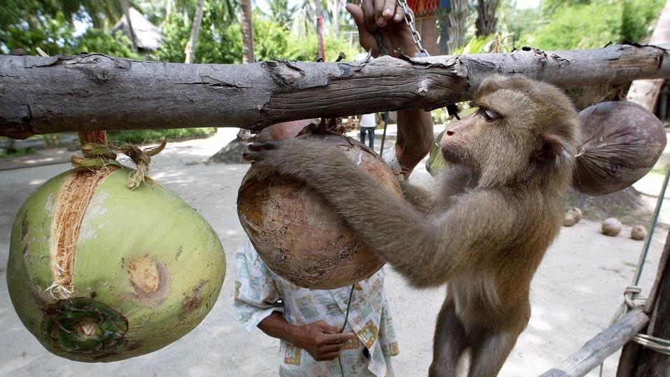Lo sfruttamento delle scimmie è un fatto reale, che il Governo lo ammetta o no.