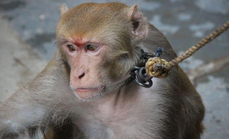L'eco dell'inchiesta sullo sfruttamento delle scimmie, stop alle vendite dei prodotti al cocco.