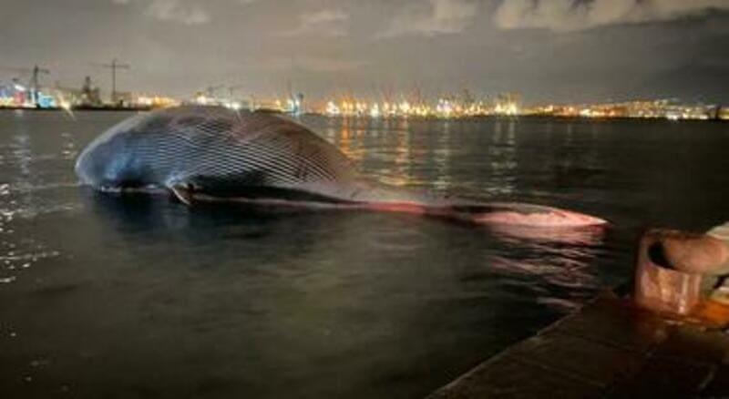La balena di Sorrento arriva a destinazione ed è pronta per l'autopsia.