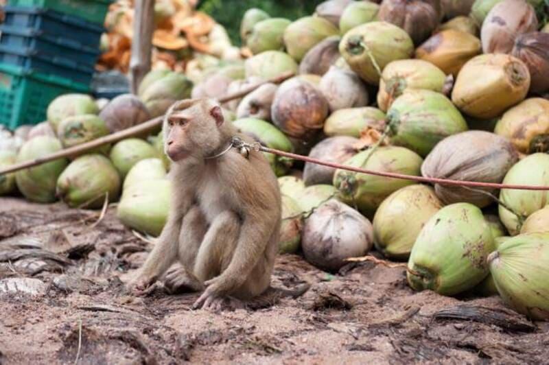 Dallo sfruttamento delle scimmie all'esportazione dei prodotti a base di cocco.