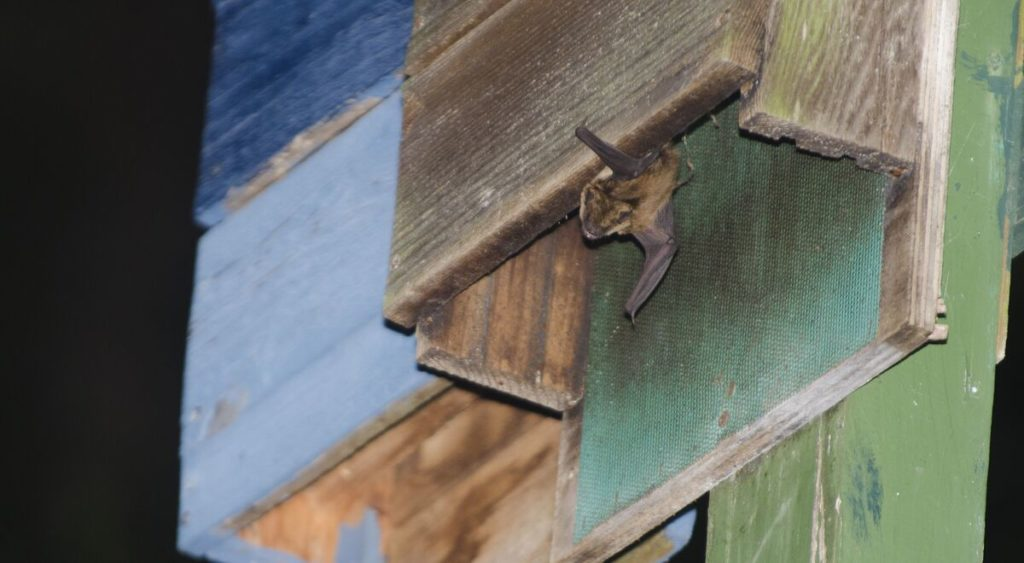 Bat box, pipistrello uscente