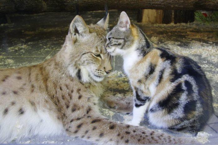 amicizia gatto lince
