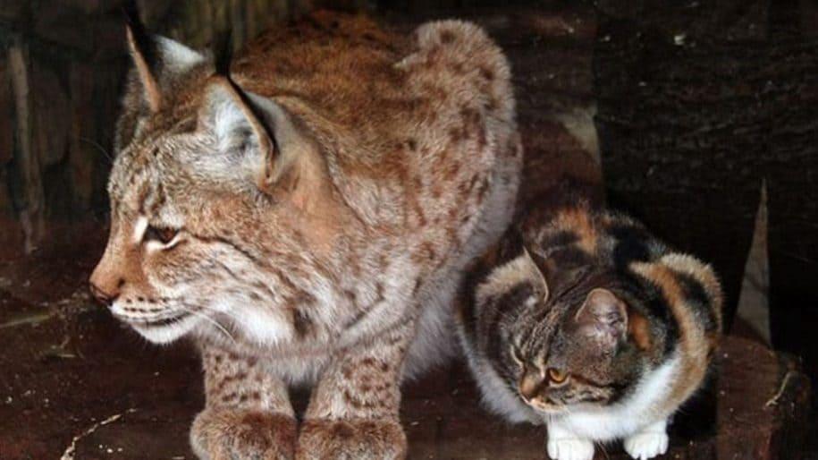amicizia gatto e lince