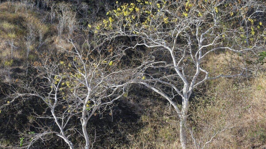 palo santo_albero