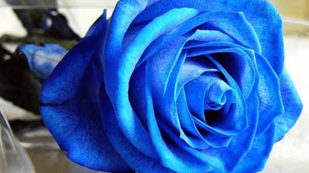rosa blu_significato