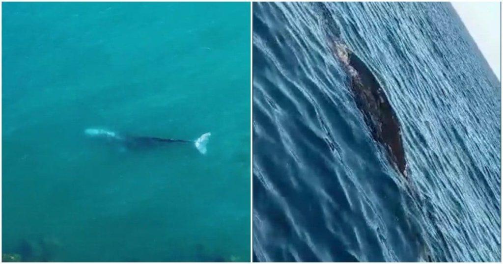 """Alla ricerca della balena grigia: """"Vorremmo riuscire a ritrovarla per foto identificarla""""."""