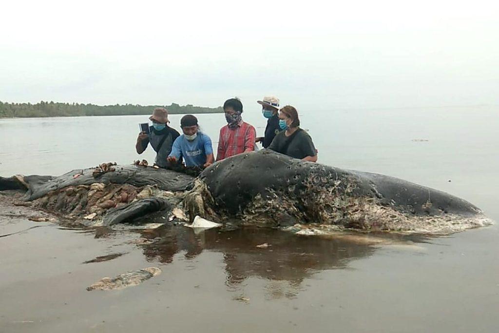 """Balene grigie in pericolo: """"Eventi di mortalità insolita""""."""