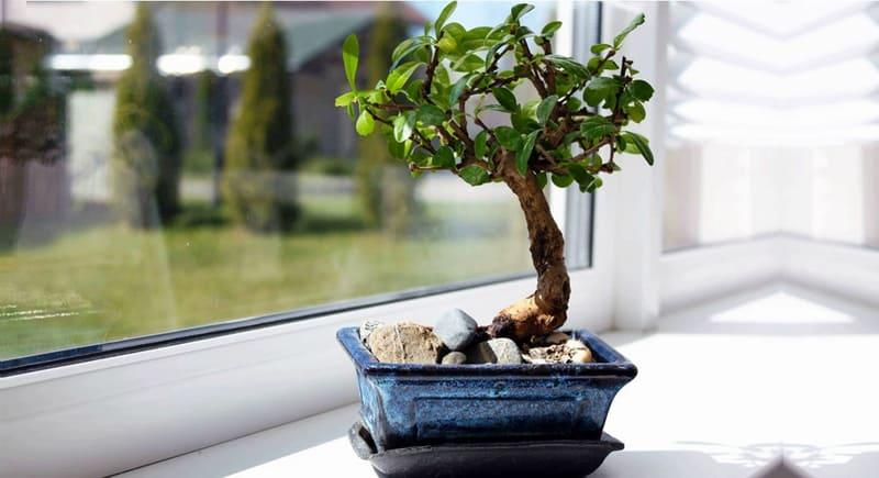 piante da interno_bonsai