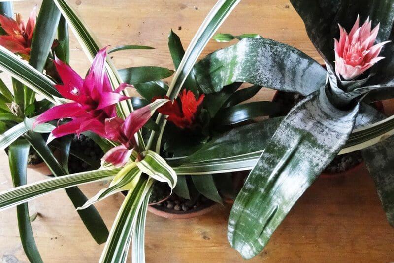 piante da interno_fiorite
