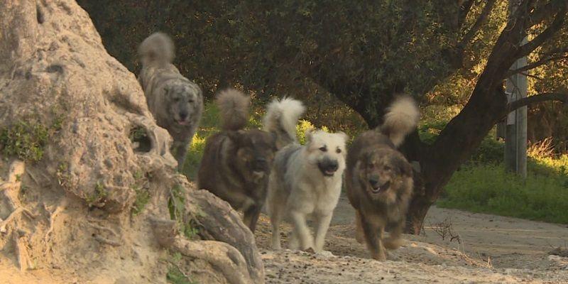 """20enne sbranata dai cani: animali """"molto aggressivi"""". Oipa: """"Colpa del randagismo"""""""
