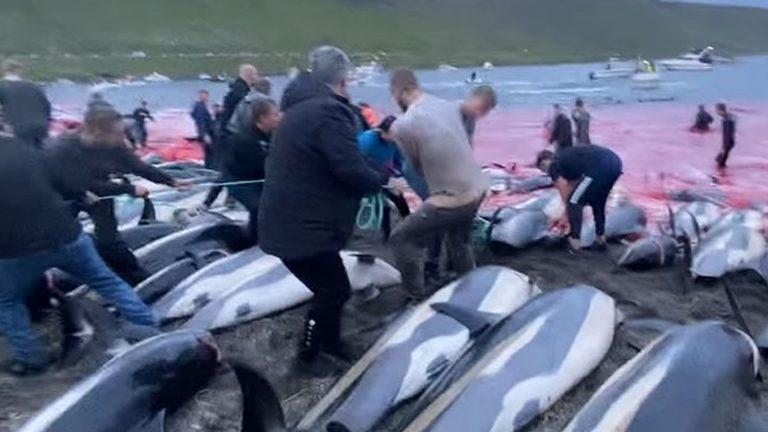 """Delfini massacrati alle Isole Faroe, caccia senza precedenti: """"Rimasti sulla spiaggia troppo a lungo prima di morire"""""""