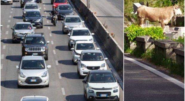 Toro rallenta traffico sulla Laurentina: il web si scatena